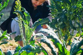 Student harvesting kale